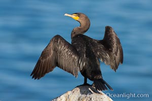 Double-crested cormorant drys its wings in the sun following a morning of foraging in the ocean, La Jolla cliffs, near San Diego. La Jolla, California, USA, Phalacrocorax auritus, natural history stock photograph, photo id 26530