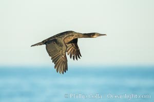 Brandt's cormorant cormorant in flight. La Jolla, California, USA, Phalacrocorax penicillatus, natural history stock photograph, photo id 30306