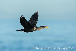 Double-crested cormorant in flight, La Jolla. La Jolla, California, USA, natural history stock photograph, photo id 30389