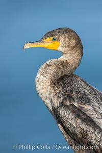 Double-crested cormorant, La Jolla, California, USA, Phalacrocorax auritus