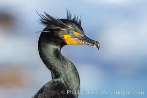 Double-crested cormorant nuptial crests, tufts of feathers on each side of the head, plumage associated with courtship and mating, Phalacrocorax auritus, La Jolla, California