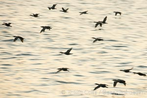 Double-crested cormorants in flight at sunrise, long exposure produces a blurred motion. La Jolla, California, USA, Phalacrocorax auritus, natural history stock photograph, photo id 15284