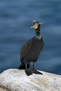 Double-crested cormorant, breeding plumage showing tufts, Phalacrocorax auritus, La Jolla, California