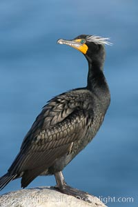 Double-crested cormorant, breeding plumage showing tufts. La Jolla, California, USA, Phalacrocorax auritus, natural history stock photograph, photo id 15787