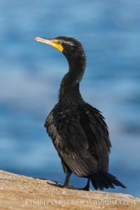 Double-crested cormorant, Phalacrocorax auritus, La Jolla, California
