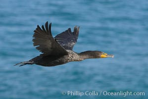 Double-crested cormorant in flight, Phalacrocorax auritus, La Jolla, California