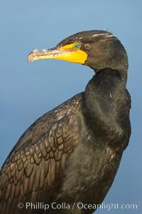 Double-crested cormorant. La Jolla, California, USA, Phalacrocorax auritus, natural history stock photograph, photo id 18362