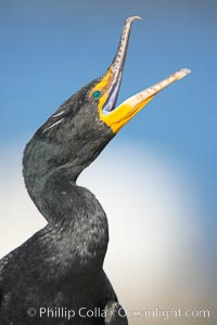 Double-crested cormorant, raised head and open mouth, Phalacrocorax auritus, La Jolla, California