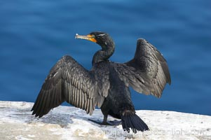 Double-crested cormorant drys its wings in the sun following a morning of foraging in the ocean, La Jolla cliffs, near San Diego, Phalacrocorax auritus