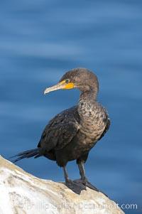 Double-crested cormorant, La Jolla cliffs, near San Diego, Phalacrocorax auritus