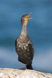 Double-crested cormorant, La Jolla cliffs, near San Diego. La Jolla, California, USA, Phalacrocorax auritus, natural history stock photograph, photo id 15085