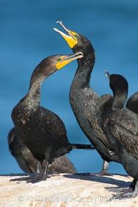 Double-crested cormorant, La Jolla cliffs, near San Diego. California, USA, Phalacrocorax auritus, natural history stock photograph, photo id 15090