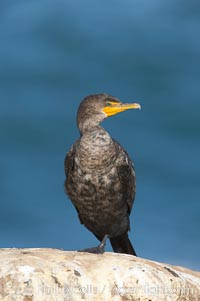 Double-crested cormorant, La Jolla cliffs, near San Diego. La Jolla, California, USA, Phalacrocorax auritus, natural history stock photograph, photo id 15093
