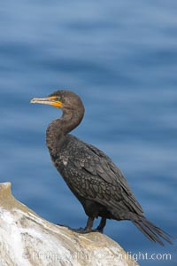 Double-crested cormorant, La Jolla cliffs, near San Diego. La Jolla, California, USA, Phalacrocorax auritus, natural history stock photograph, photo id 15095