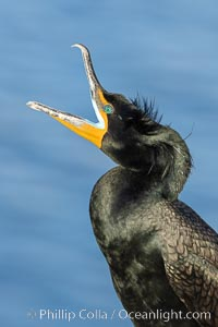 Double-crested cormorant vocalizing, calling, showing mating nuptial crests on its head, Phalacrocorax auritus, La Jolla, California