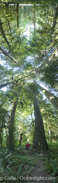 Ancient Douglas fir trees in Cathedral Grove.  Cathedral Grove is home to huge, ancient, old-growth Douglas fir trees.  About 300 years ago a fire killed most of the trees in this grove, but a small number of trees survived and were the originators of what is now Cathedral Grove.  Western redcedar trees grow in adundance in the understory below the taller Douglas fir trees. Cathedral Grove, MacMillan Provincial Park, Vancouver Island, British Columbia, Canada, Pseudotsuga menziesii, natural history stock photograph, photo id 22456