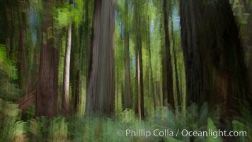 Douglas fir and coast redwood trees, Jedediah Smith State Park
