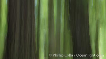 Douglas fir and coast redwood trees, Jedediah Smith State Park. California, USA, natural history stock photograph, photo id 25854