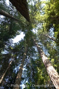 Douglas fir and Western hemlock trees reach for the sky in a British Columbia temperate rainforest. Capilano Suspension Bridge, Vancouver, British Columbia, Canada, natural history stock photograph, photo id 21149