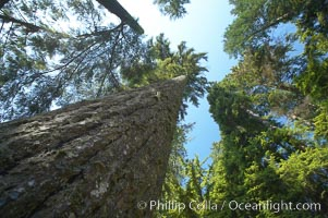Douglas fir and Western hemlock trees reach for the sky in a British Columbia temperate rainforest. Capilano Suspension Bridge, Vancouver, Canada, natural history stock photograph, photo id 21157