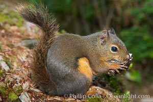 Douglas squirrel, a common rodent in coniferous forests in western North American, eats a mushroom, Hoh rainforest, Tamiasciurus douglasii, Hoh Rainforest, Olympic National Park, Washington