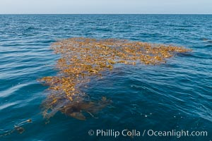 Drift kelp, a kelp paddy, floating patch of kelp on the open ocean which attracts marine life and forms of moving oasis of life, an open ocean habitat, San Diego, California