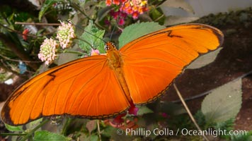 Julia butterfly, Dryas julia