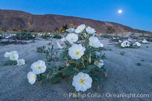 Dune Evening Primrose and Full Moon, Anza Borrego. Anza-Borrego Desert State Park, Borrego Springs, California, USA, Oenothera deltoides, natural history stock photograph, photo id 30497