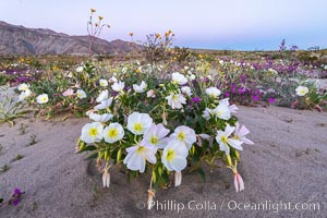 Dune Evening Primrose bloom in Anza Borrego Desert State Park. Anza-Borrego Desert State Park, Borrego Springs, California, USA, Oenothera deltoides, natural history stock photograph, photo id 35202