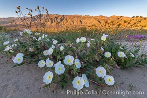 Dune Evening Primrose bloom in Anza Borrego Desert State Park. Anza-Borrego Desert State Park, Borrego Springs, California, USA, Oenothera deltoides, natural history stock photograph, photo id 35207
