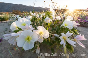 Dune Evening Primrose bloom in Anza Borrego Desert State Park. Anza-Borrego Desert State Park, Borrego Springs, California, USA, Oenothera deltoides, natural history stock photograph, photo id 35216