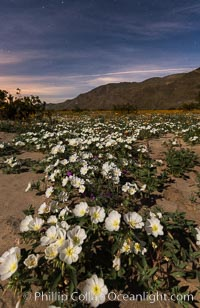 Dune Evening Primrose bloom under the stars in Anza Borrego Desert State Park, during the 2017 Superbloom, Oenothera deltoides, Anza-Borrego Desert State Park, Borrego Springs, California
