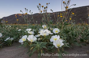 Dune Evening Primrose bloom in Anza Borrego Desert State Park, during the 2017 Superbloom, Oenothera deltoides, Anza-Borrego Desert State Park, Borrego Springs, California