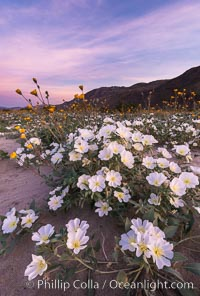 Dune Evening Primrose bloom in Anza Borrego Desert State Park, during the 2017 Superbloom. Anza-Borrego Desert State Park, Borrego Springs, California, USA, Oenothera deltoides, natural history stock photograph, photo id 33170