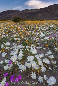 Dune Evening Primrose bloom in Anza Borrego Desert State Park, during the 2017 Superbloom. Anza-Borrego Desert State Park, Borrego Springs, California, USA, Oenothera deltoides, natural history stock photograph, photo id 33184