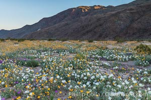 Dune Evening Primrose bloom in Anza Borrego Desert State Park, during the 2017 Superbloom. Anza-Borrego Desert State Park, Borrego Springs, California, USA, Oenothera deltoides, natural history stock photograph, photo id 33217