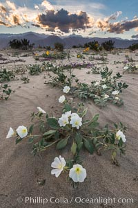 Image 30518, Dune Evening Primrose Wildflowers, Anza-Borrego Desert State Park. Borrego Springs, California, USA, Oenothera deltoides, Abronia villosa, Phillip Colla, all rights reserved worldwide.   Keywords: abronia villosa:anza borrego:anza borrego desert state park:anza borrego desert state park:borrego springs:california:desert:desert wildflower:dune evening primrose:dune primrose:flower:landscape:nature:oenothera deltoides:outdoors:outside:plant:sand verbena:scene:scenic:state parks:usa:wildflower:primrose.