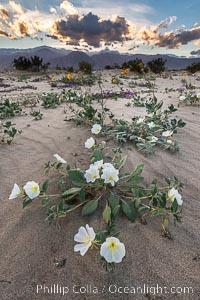 Dune Evening Primrose Wildflowers, Anza-Borrego Desert State Park, Oenothera deltoides, Abronia villosa, Borrego Springs, California