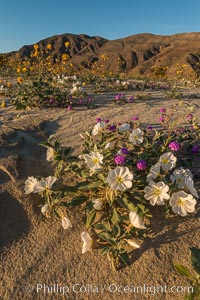 Dune Evening Primrose Wildflowers, Anza-Borrego Desert State Park, Abronia villosa, Oenothera deltoides, Borrego Springs, California