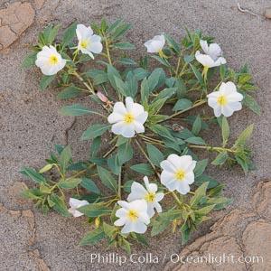 Dune Evening Primrose Wildflowers, Anza-Borrego Desert State Park, Oenothera deltoides, Borrego Springs, California