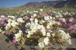 Dune primrose (white) and sand verbena (purple) bloom in spring in Anza Borrego Desert State Park, mixing in a rich display of desert color.  Anza Borrego Desert State Park. Anza-Borrego Desert State Park, Borrego Springs, California, USA, Oenothera deltoides, Abronia villosa, natural history stock photograph, photo id 20466