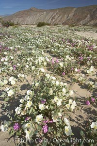Dune primrose (white) and sand verbena (purple) bloom in spring in Anza Borrego Desert State Park, mixing in a rich display of desert color.  Anza Borrego Desert State Park. Anza-Borrego Desert State Park, Borrego Springs, California, USA, Oenothera deltoides, Abronia villosa, natural history stock photograph, photo id 20472