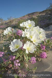 Dune primrose (white) and sand verbena (purple) bloom in spring in Anza Borrego Desert State Park, mixing in a rich display of desert color.  Anza Borrego Desert State Park, Abronia villosa, Oenothera deltoides, Anza-Borrego Desert State Park, Borrego Springs, California