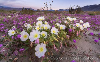 Image 35168, Dune primrose (white) and sand verbena (purple) bloom in spring in Anza Borrego Desert State Park, mixing in a rich display of desert color. Anza-Borrego Desert State Park, Borrego Springs, California, USA, Abronia villosa, Oenothera deltoides, Phillip Colla, all rights reserved worldwide. Keywords: abronia villosa, anza borrego, anza borrego desert state park, anza borrego desert state park, bloom, borrego springs, california, desert, desert wildflower, dune evening primrose, dune primrose, flower, landscape, nature, oenothera deltoides, outdoors, outside, plant, primrose, sand verbena, scene, scenic, spring, state parks, usa, wildflower.