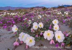 Dune primrose (white) and sand verbena (purple) bloom in spring in Anza Borrego Desert State Park, mixing in a rich display of desert color, Abronia villosa, Oenothera deltoides, Anza-Borrego Desert State Park, Borrego Springs, California