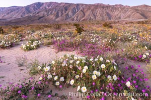Dune primrose (white) and sand verbena (purple) bloom in spring in Anza Borrego Desert State Park, mixing in a rich display of desert color. Anza-Borrego Desert State Park, Borrego Springs, California, USA, Abronia villosa, Oenothera deltoides, natural history stock photograph, photo id 35198