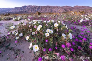 Dune primrose (white) and sand verbena (purple) bloom in spring in Anza Borrego Desert State Park, mixing in a rich display of desert color, Abronia villosa, Oenothera deltoides, Anza-Borrego Desert State Park, Borrego Springs, California