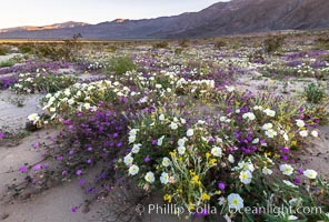 Image 35217, Dune primrose (white) and sand verbena (purple) bloom in spring in Anza Borrego Desert State Park, mixing in a rich display of desert color. Anza-Borrego Desert State Park, Borrego Springs, California, USA, Abronia villosa, Oenothera deltoides