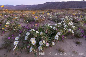Image 35220, Dune primrose (white) and sand verbena (purple) bloom in spring in Anza Borrego Desert State Park, mixing in a rich display of desert color. Anza-Borrego Desert State Park, Borrego Springs, California, USA, Abronia villosa, Oenothera deltoides