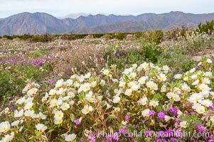 Dune primrose blooms in spring following winter rains.  Dune primrose is a common ephemeral wildflower on the Colorado Desert, growing on dunes.  Its blooms open in the evening and last through midmorning.  Anza Borrego Desert State Park, Oenothera deltoides, Anza-Borrego Desert State Park, Borrego Springs, California